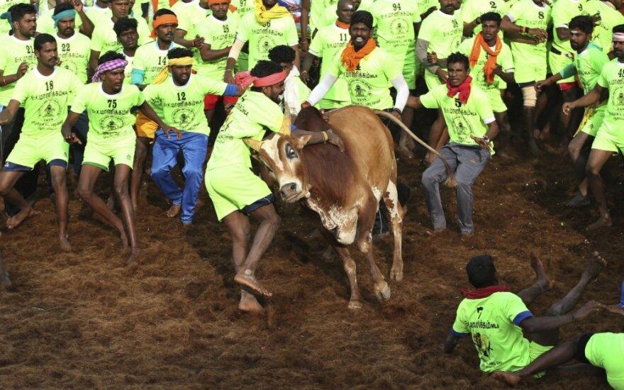 Per grumtynių su buliais festivalį Indijoje jau sužeisti dešimtys žmonių