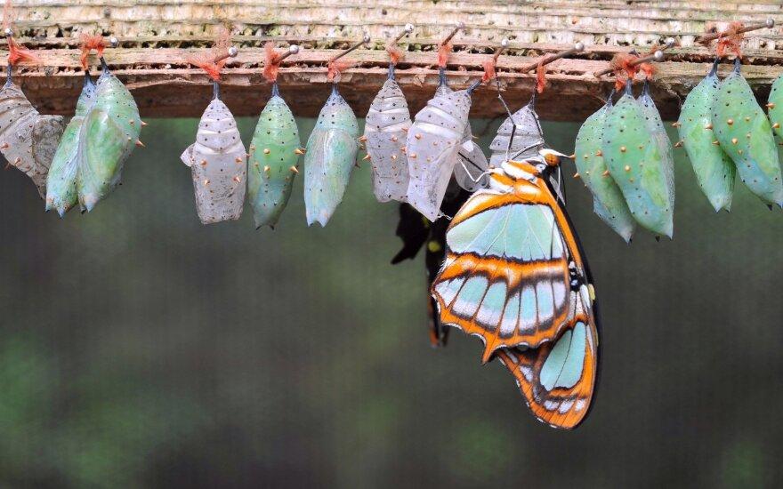 Smiltynėje – tropinių drugelių namai