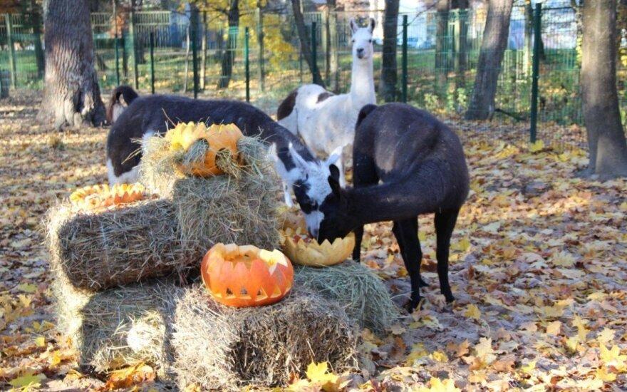 Kauno zoologijos sodas laukia lankytojų su moliūgais