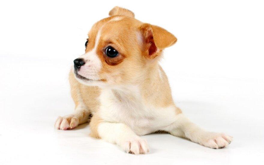 Čihuahua veislės šuo