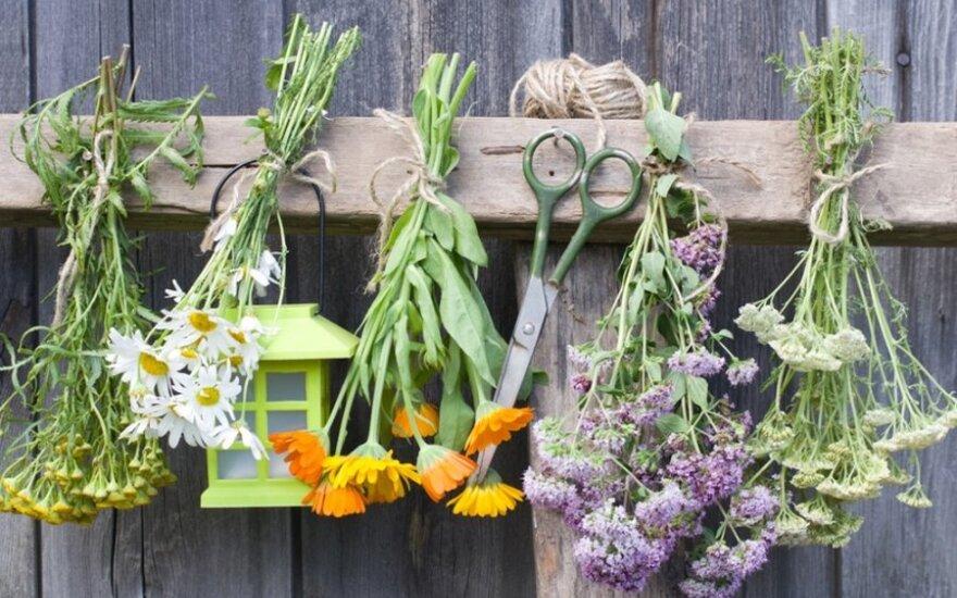 Žolė nuo šimto ligų: padės peršalus, sergant akne, virškinimo ligomis, vėžiu