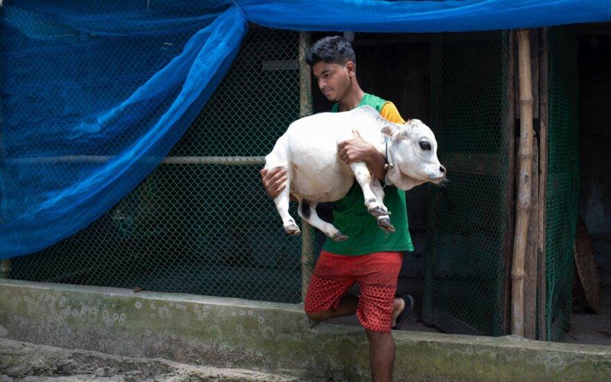 Rani, visiškai subrendusi 23 mėnesių amžiaus Butano veislės karvė, yra vos 51 cm ūgio.
