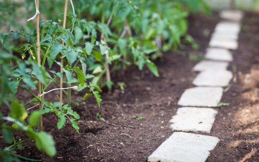 Paprastas triukas, kaip lauke pasodintus pomidorus apsaugoti nuo šalnų