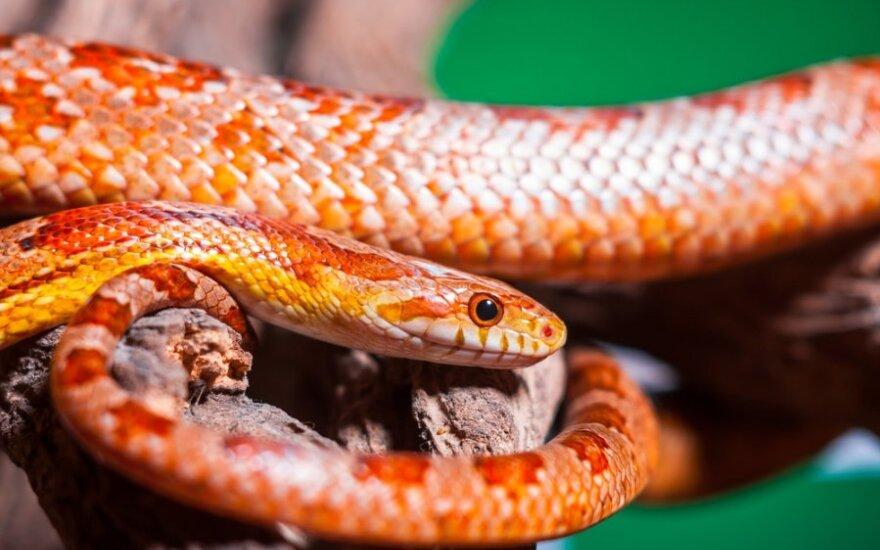 Kai naminis augintinis - gyvatė
