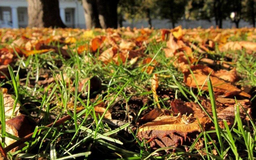 Nukritę lapai turi būti metami į žaliųjų atliekų konteinerius