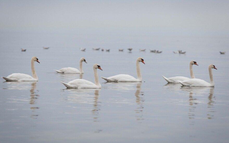 Nustatyta, kad gulbės Lietuvoje nugaišo ne dėl paukščių gripo