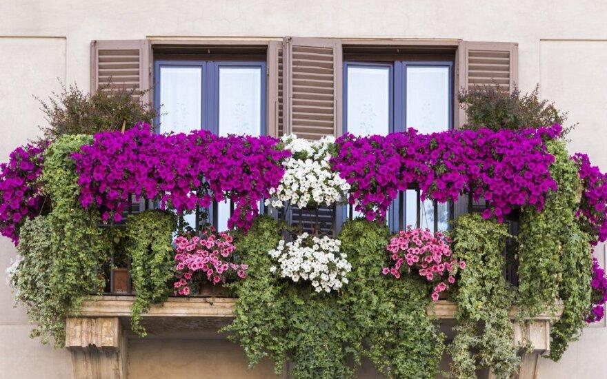 Kaip užsiauginti itališko stiliaus gėlynus, kurie puoštų langus ir balkonus