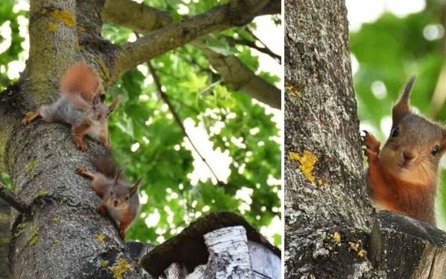 Kėdainiečių Vidmanto ir Dalios Marmų kieme apsigyveno pūstauodegių voverių šeimynėlė – du suaugę gyvūnėliai ir trys maži jaunikliai. (Asmeninio archyvo nuotr. / rinkosaikste.lt