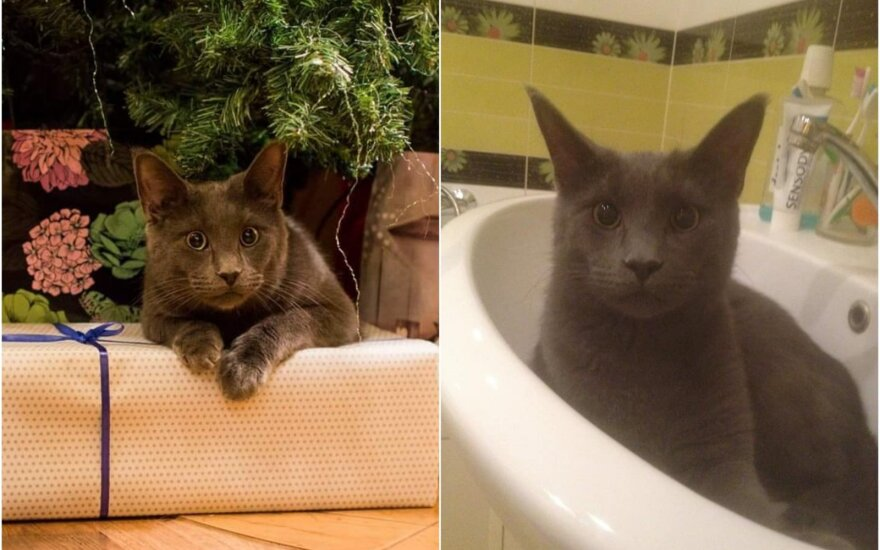 Kaune dingo katinas Toras