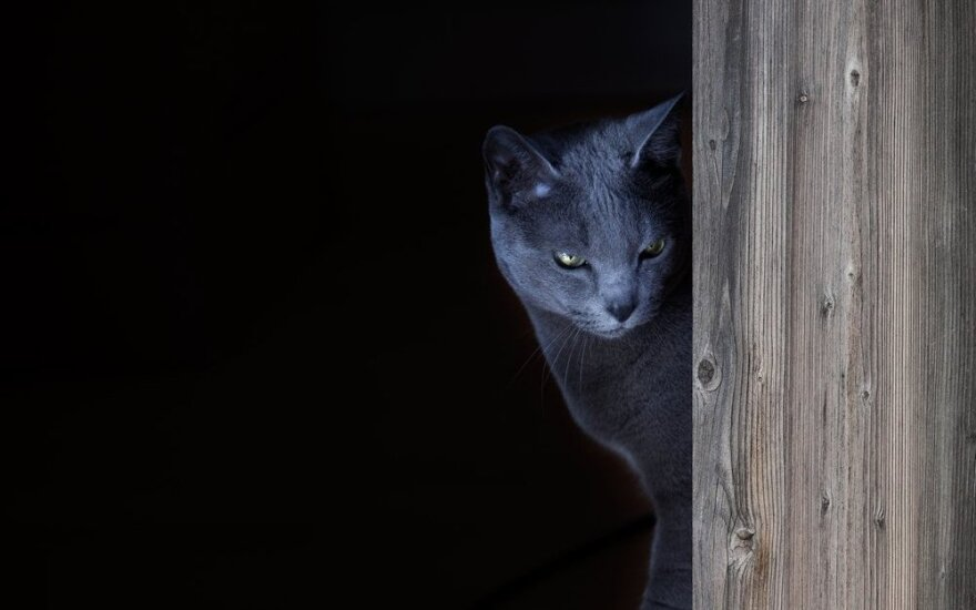 Vilniuje dingo pilkas katinas