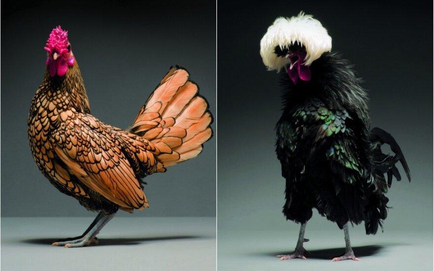 Naminių paukščių fotosesija