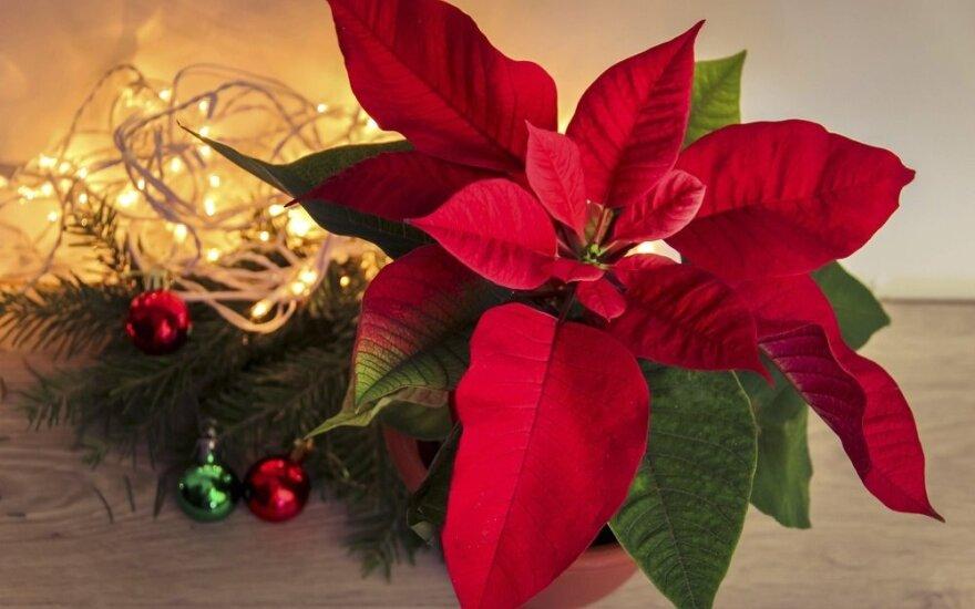 Kalėdų žvaigždės: gražios, bet nuodingos