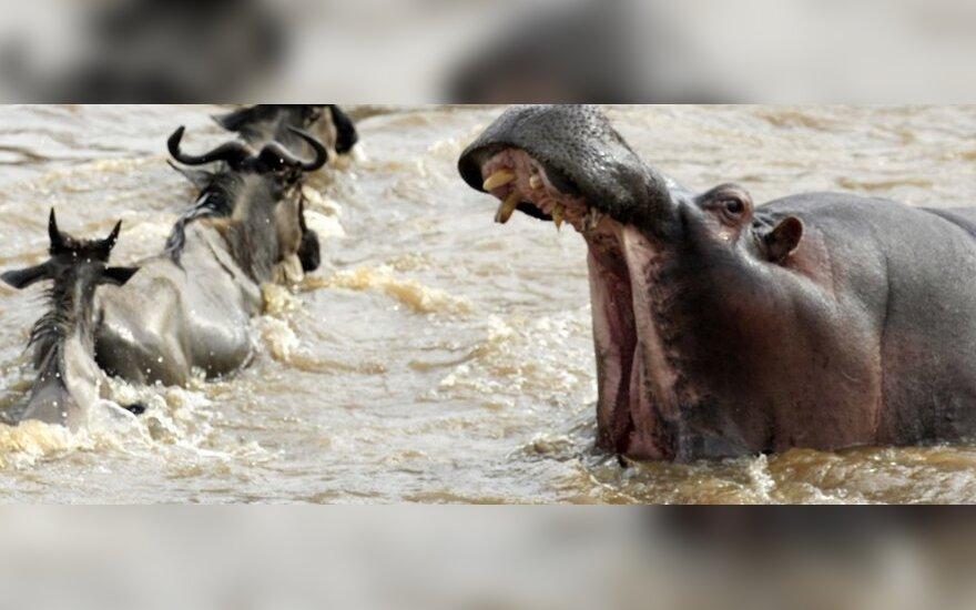 Begemotas išgelbėjo skęstančius antilopę ir zebrą