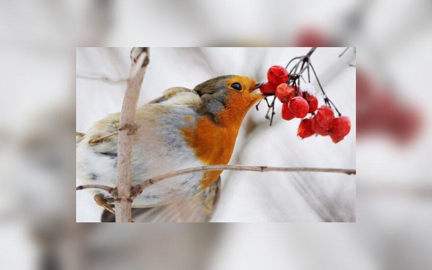 Sniegena