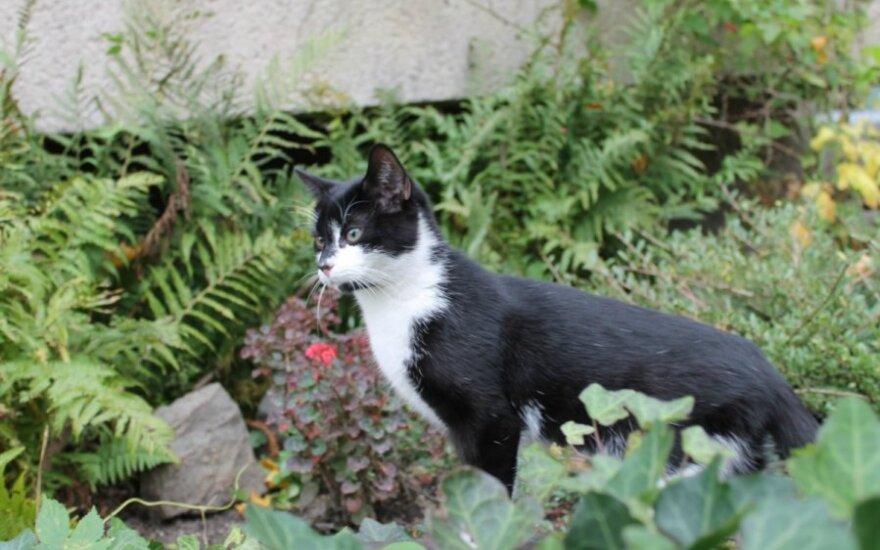 Žavingas katinukas iš Paco g. ieško globos arba naujų namų