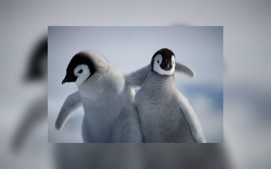 Pingvinai