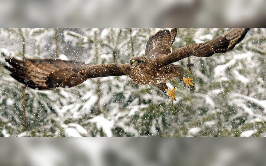 """Geriausios 2013-ųjų metų gamtosKastyčio Vainausko nuotrauka """"Skrydis pūgoje"""" fotografų nuotraukos"""