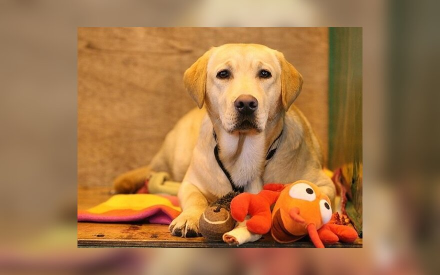 Labradoras, šuo