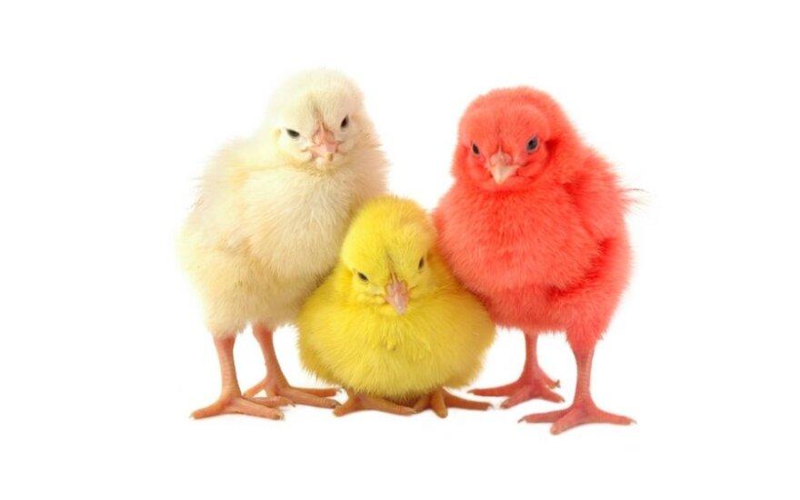 Viščiukų embrionai gali būti dažomi ir siekiant juos atskirti