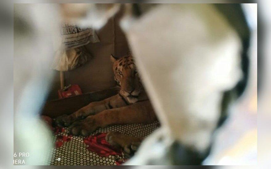 Namo grįžusi šeima ant lovos rado miegantį tigrą