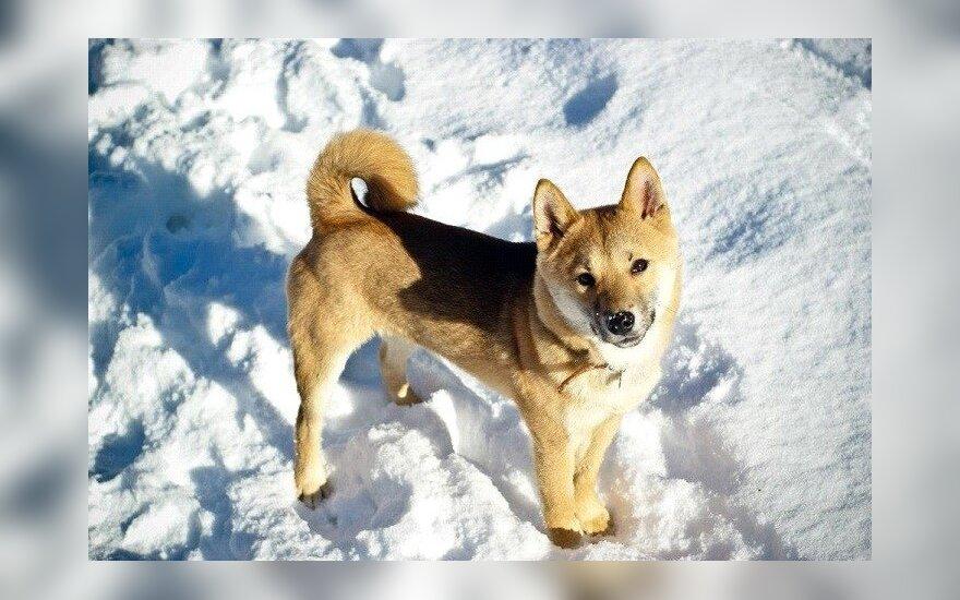 Vilniuje dingo į lapę panašus šuo
