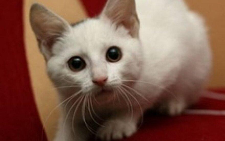 Žavus katinėlis Leksus ieško namų