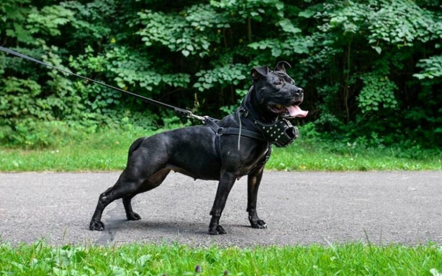 Pavojingų veislių požymių turintys iš prieglaudos paimti šunys / Andriaus Kupsčio © (nikodema.lt) nuotr.