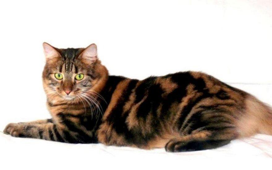 Tigrinė katė Melisa ieško namų