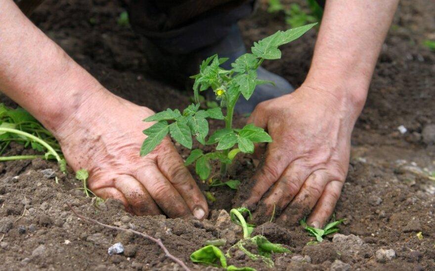 Šiuolaikiškiausias ūkininkavimo būdas – be arimo, kasimo ar kitokio žemės dirbimo