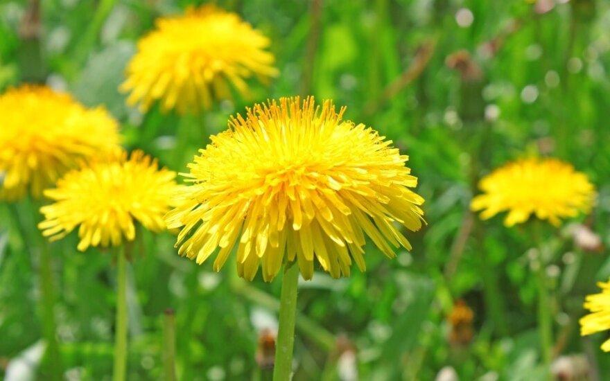 Džiovinti pienių žiedlapiai - alternatyva šafranui