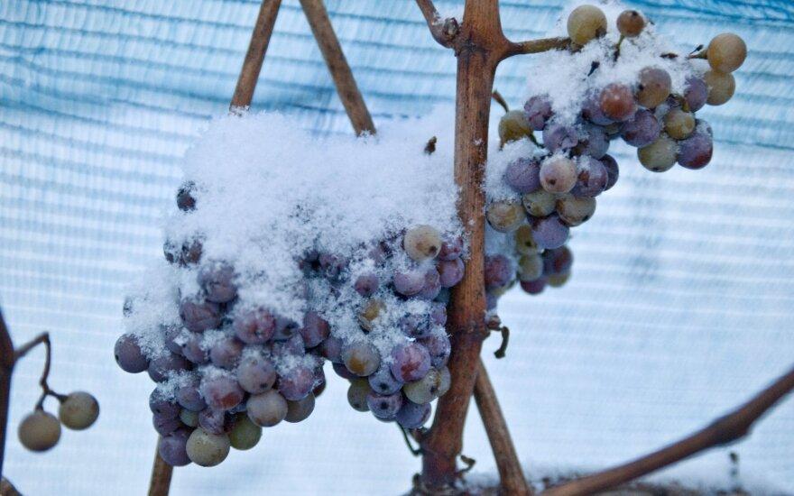 Sušalusios vynuogės