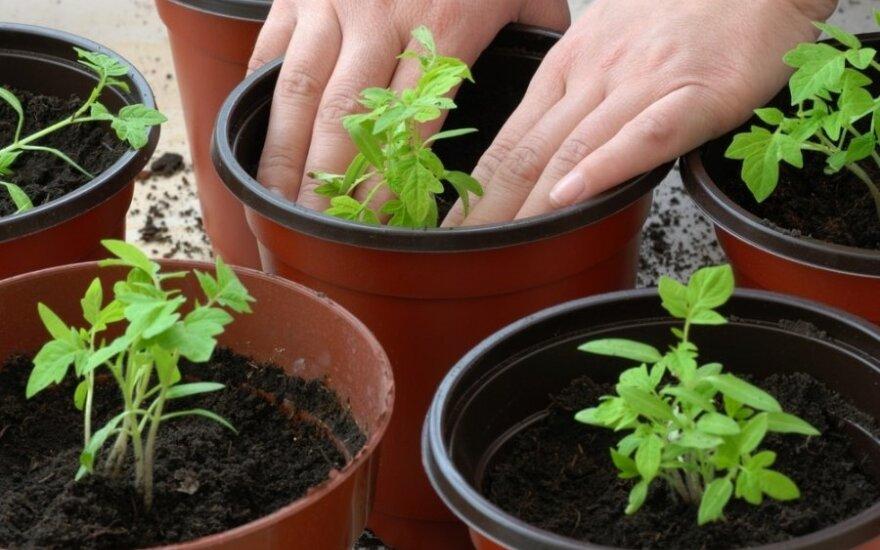 Kada ir kaip sėti bei sodinti pomidorus