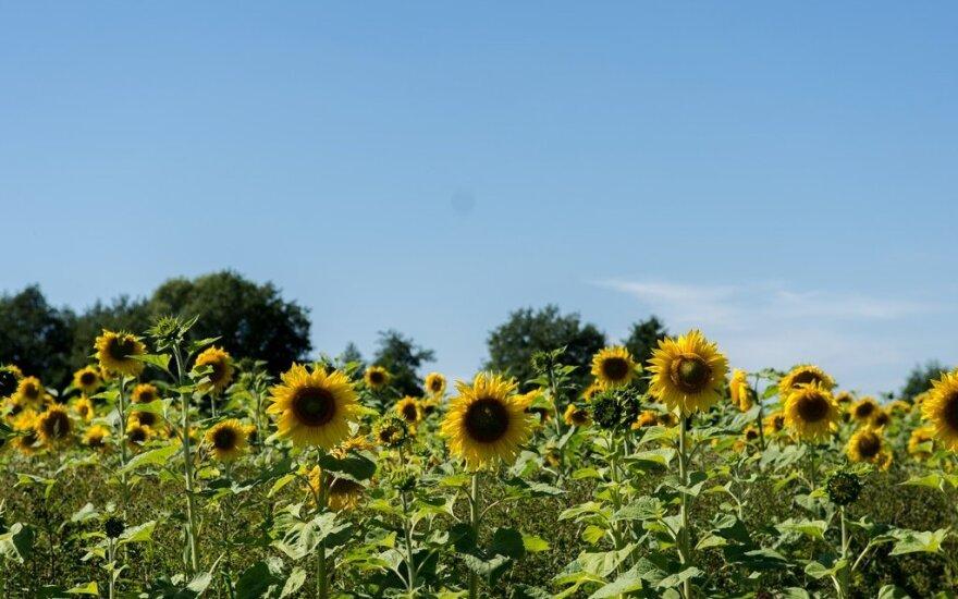 Šalia Panevėžio – įspūdingas vaizdas: pravažiuojančius pakeri plytintis saulėgrąžų laukas