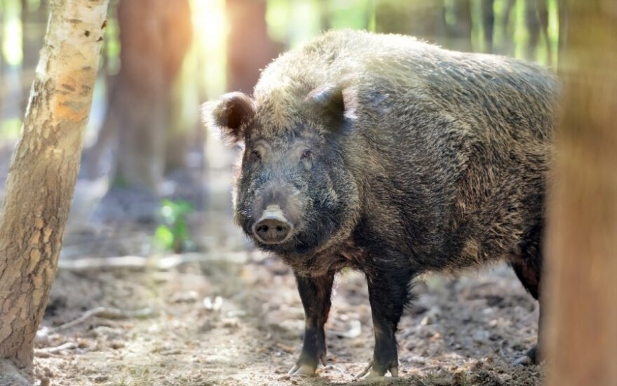 Wild boar with ASF found near Idavang pig farm in Lithuania