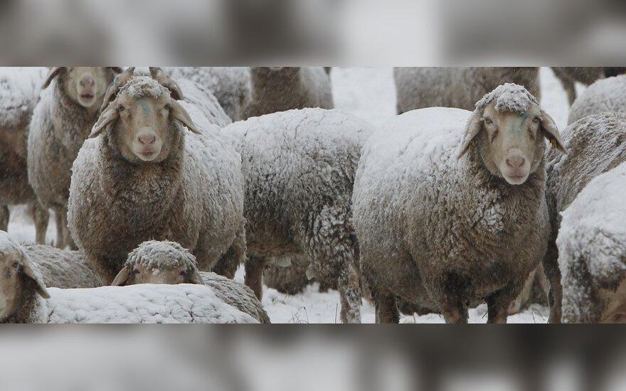 Avių mėsos reikia, o vilnos – ne