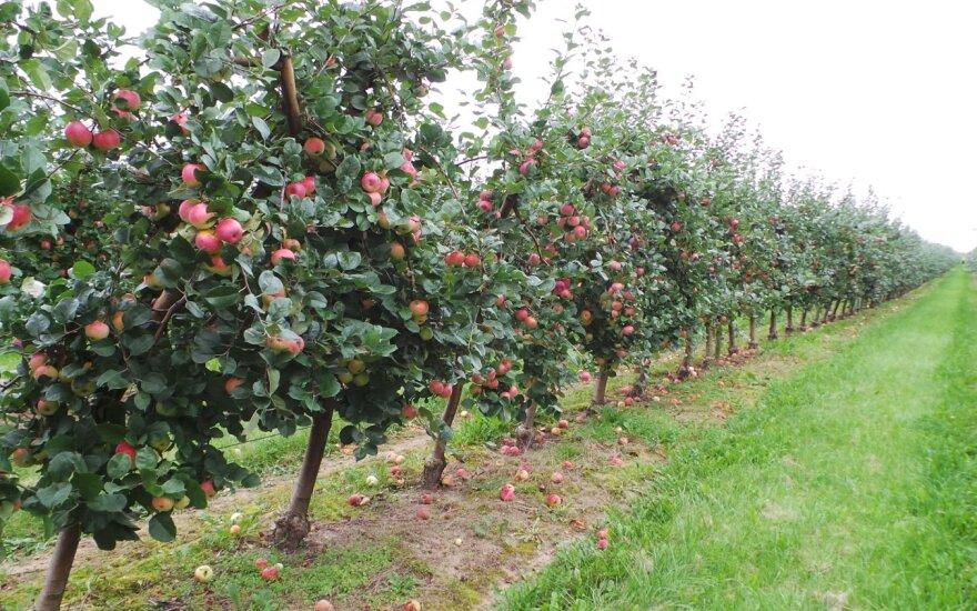 Nuskynus obuolius darbai nesibaigia – kaip tinkamai paruošti medelius žiemai