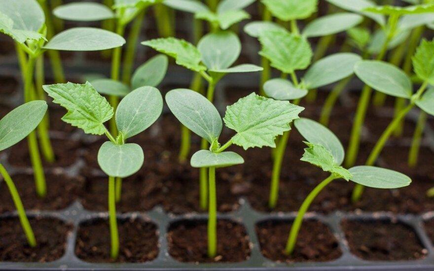 Kada ir kaip pikiuoti, kad augalai kuo geriau augtų