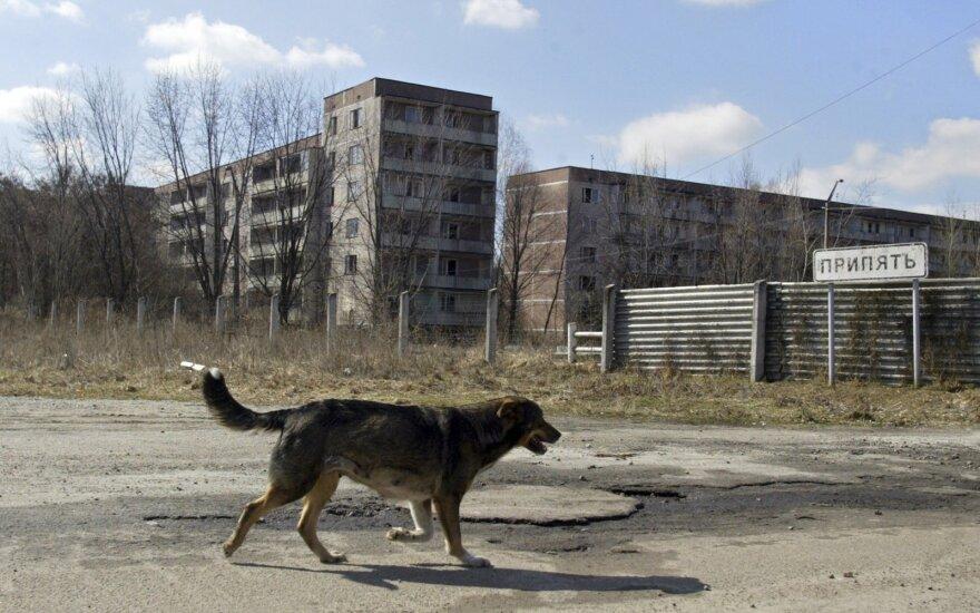 Neatsispiria pagundai ūkininkauti Černobylio zonos pakraščiuose