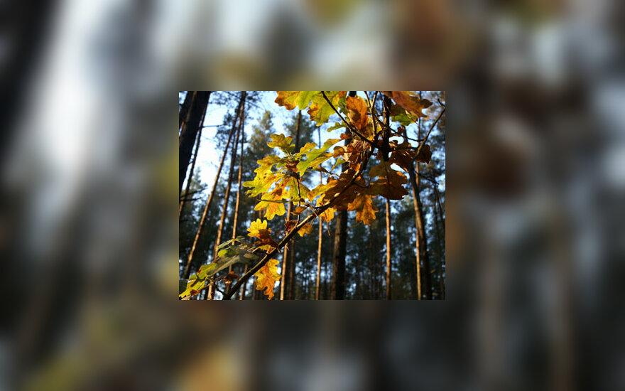 Lapai, ruduo, medžiai