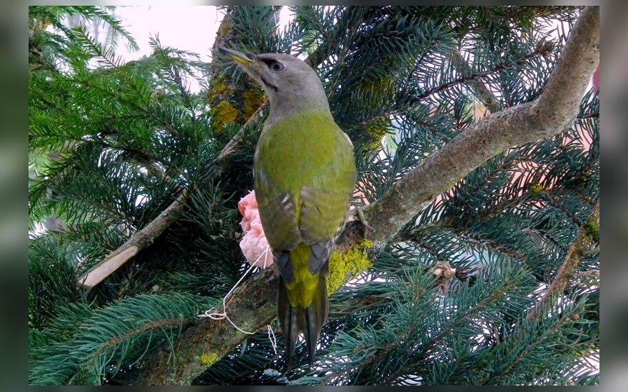 Pilkoji meleta (Picus canus)  - balandžio dydžio gelsvai žalia nugara, pilku viršugalviu genys. Patino kakta raudona. Lesykloje lankosi retai. Lesa saulėgrąžas, riebalus