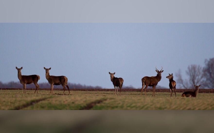 Lietuvoje į pievas patraukė elniai, stiebiasi mėlynės, ūbauja pelėdos
