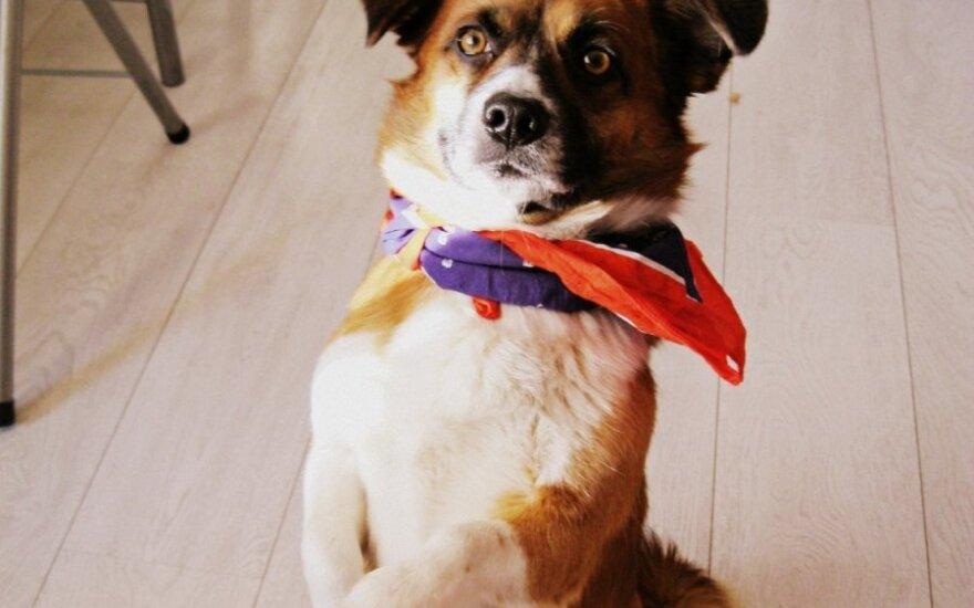 Skubu! Vilniuje rastas mažaūgis šunelis ieško naujų namų