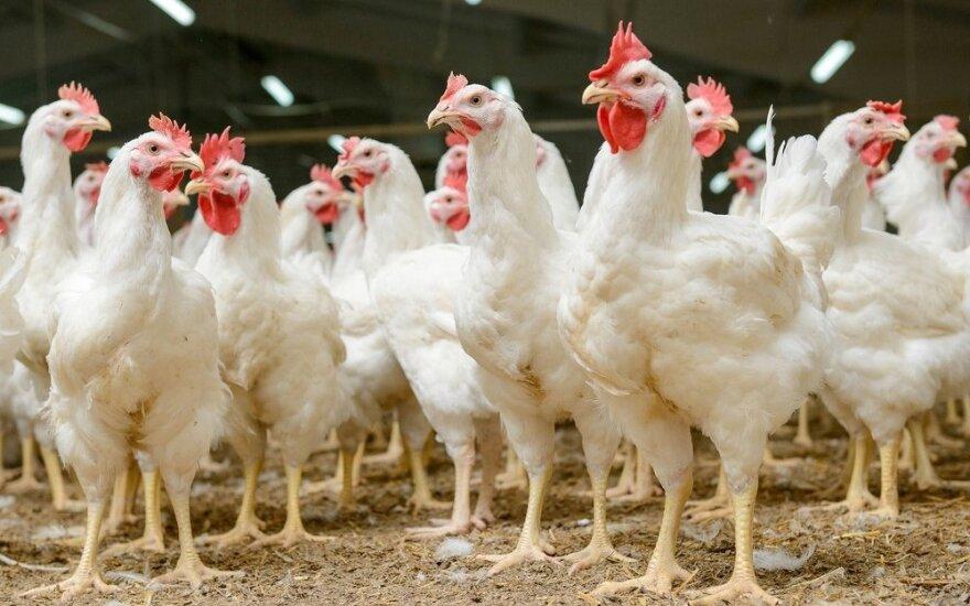 """""""Groward Group"""" modernizuoja paukštides: vištos iš narvų perkeliamos ant kraiko"""