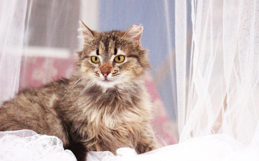 Miškinę norvegų katytę primenanti Spelta ieško namų