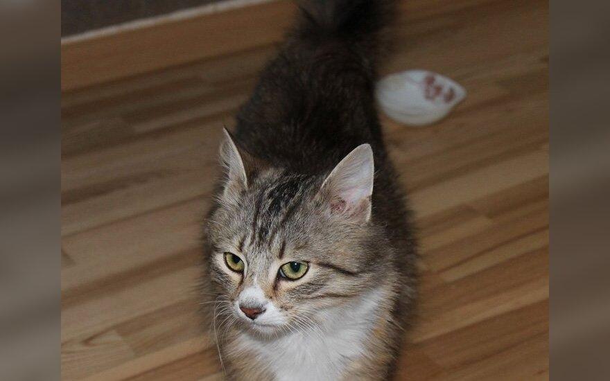 Namų ieško labai meilus katinėlis