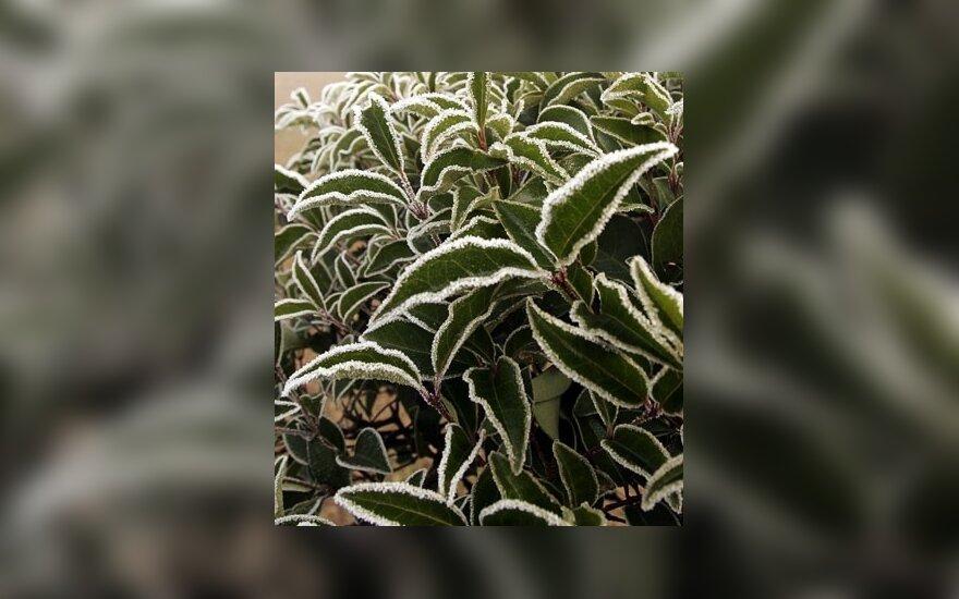Krūmo lapai, padengti šalna(Indija).