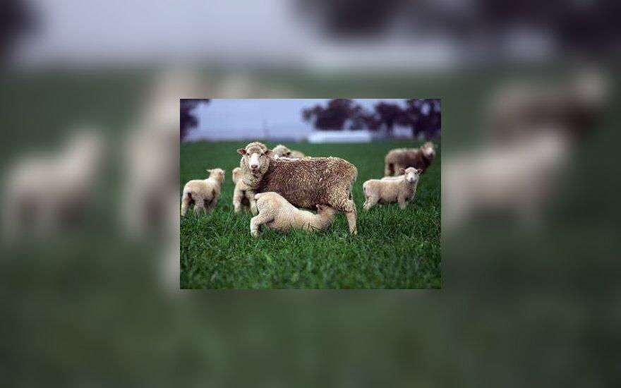 Avis geriausia parduoti pasibaigus žolei