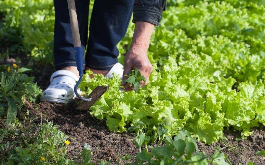 Populiariausia piktžolė - didžiausia gyduolė: nuo aukšto kraujospūdžio, karščiavimo ir žaizdų