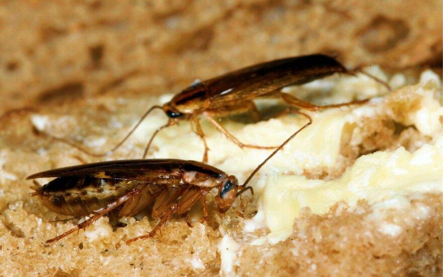 Tarakonai ant duonos gabalėlio