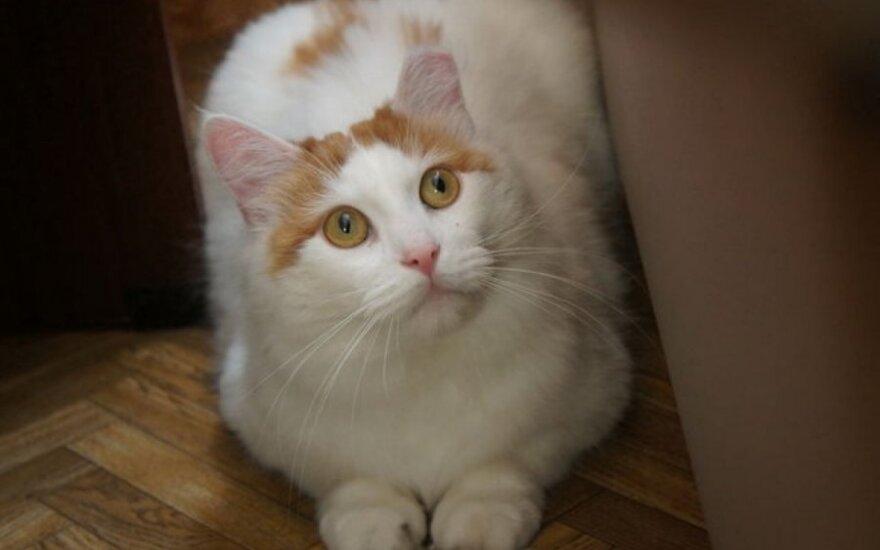 Didelis katinas Filas ieško namų